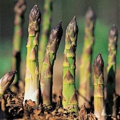 Mary Washington is the classic asparagus. This variety is a high-yield perennial vegetable, and should provide a bountiful harvest for several years to come. Asparagus Plant, Baked Asparagus, Fresh Asparagus, Asparagus Spears, Organic Gardening, Gardening Tips, Vegetable Gardening, Container Gardening, Gardens