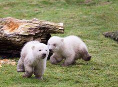 mama's gonna kill us! dirty baby polar #bears