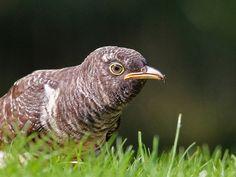 Jonge Koekoek (Van vroegevogels)