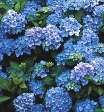 Hortensia snoeien van de verschillende soorten met uitleg. Hortensia Hydrangea, Plantar, Small Gardens, Garden Inspiration, Home And Garden, World, Google, Design, Flowers