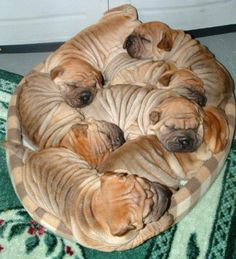 Adorable Shar-Pei need their beauty sleep. Now it's time for us to take a look at something that will make us all smile…Shar-Pei dogs sleeping in hilarious positions. Animals And Pets, Baby Animals, Funny Animals, Cute Animals, Worlds Cutest Animals, Cute Puppies, Dogs And Puppies, Shar Pei Puppies, Spaniel Puppies