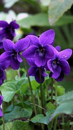 8 Flower Landscape Ideas For Your Garden – Garden Ideas 101 Exotic Flowers, Amazing Flowers, Pretty Flowers, Purple Flowers, Wild Flowers, Flower Images, Flower Art, Sweet Violets, Violets Flower