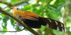 Foto chincoã-de-bico-vermelho (Piaya melanogaster) por Jorge Lopes 2 | Wiki Aves - A Enciclopédia das Aves do Brasil