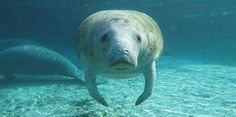 A sign population numbers are improving, Federal officials are considering reclassifying manatees from 'endangered' to 'threatened'.