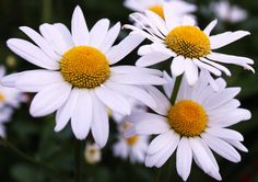 Summertime Daisies to brighten the day Daisies, Summertime, Day, Plants, Photos, Pictures, Daisy, Flora, Plant