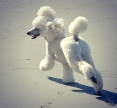 "Outstanding ""poodle puppies"" info is available on our internet site. Dog Training Methods, Basic Dog Training, Dog Training Techniques, Training Your Puppy, Training Dogs, I Love Dogs, Cute Dogs, Positive Dog Training, Bulldog Breeds"
