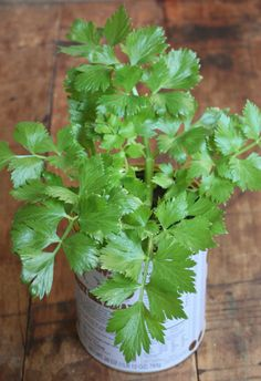 Growing celery indoors.
