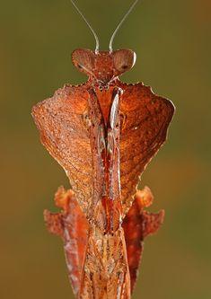 Deroplatys desiccata: Photo by Photographer Igor Siwanowicz - photo.net