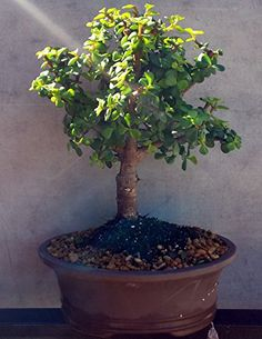 Indoorbonsaiexotics Dwarf Baby Jade Large Bonsai Tree ** More info could be found at the image url.