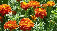 Τα παρακάτω φυτα λόγω των ελαίων που περιέχουν διώχνουν τα κουνουπια. Φυτέψτε τα στον κήπο σας ή σε γλάστρες κοντά στα σημεία που συνηθίζετε να κάθεστε και Garden, Plants, Herbs, Nature, Indoor Plants, Garden Pests, Trees To Plant, Flower Garden, Flowers