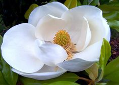 SOUTHERN MAGNOLIA.  A large striking evergreen tree with large dark green leaves and large white fragrant flowers. Had one at our last house, just planted one this year here. Float a blossom in a crystal bowl for a striking centerpiece!