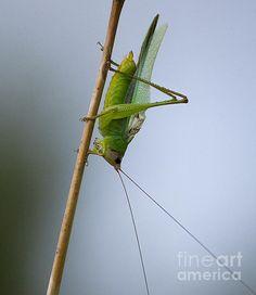 Title:  Grasshopper   Artist:  Anne Rodkin   Medium:  Photograph - Photography
