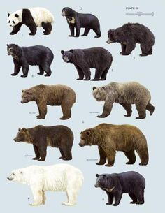 1 Panda Bear #2 Sun Bear #3 Sloth Bear, #4 Andean Bear (Spectacled Bear), #5 N American Black Bear, #6 Brown Bear (4 pics show subspecies) #7 Polar Bear, #8 Asiatic Black Bear (Moon Bear).