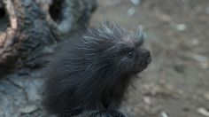 Check out the new baby porcupine at the Bronx Zoo