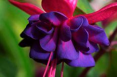 Fuchsia   Flickr - Photo Sharing!