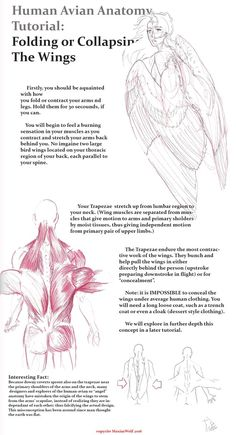 Human-Avian Anatomy: Contracting Wings Part 1 by MaximWolf Wing Anatomy, Anatomy Drawing, Anatomy Art, Human Anatomy, Drawing Techniques, Drawing Tips, Wings Drawing, People Art, Bird People
