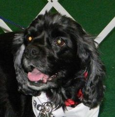 ABBEY is an adoptable Cocker Spaniel Dog in Westmont, IL.   My name is Abbey, they think I am about 5 years old, no way to know for sure since I was rescued from a horrible situation and my nutrition ...