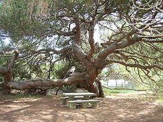 Pino piñonero (Pinus pinea) centenario en el Parador de Mazagón, Huelva, Spain
