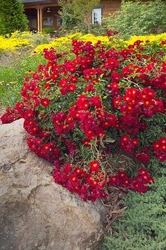 Flower Carpet roses lakeside during Australias drought ...