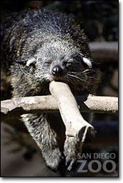 The Binturong which is native to Asian rainforests is also known as the Asian bearcat, the Palawan bearcat, or simply the bearcat. However it is not a bear, but is related to civets and genets.