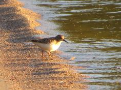 Least Sandpiper / Bécasseau minuscule - Ivanhoe Lake Provincial Park (August Bird Sightings, August 2014, Ontario, Scenery, Birds, Park, Reading, Animals, Animales