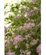 Little Princess Spirea (Spiraea japonica)