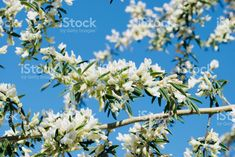 White Spring Flowers in Bloom against Blue Sky royalty-free stock photo Blooming Flowers, Spring Flowers, White Springs, Sky Photos, Abstract Photos, Image Now, Royalty Free Stock Photos, Plants, Blue