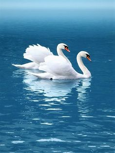 Gorgeous beautiful swan photo of birds. Beautiful Swan, Beautiful Birds, Animals Beautiful, Pretty Birds, Love Birds, Swans, Vogel Gif, Animals And Pets, Cute Animals