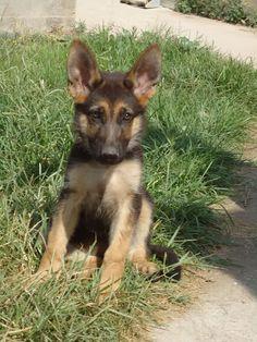 d German Shepherd Puppies, German Shepherds, Animals And Pets, Cute Animals, Schaefer, Gsd Puppies, Maine Coon, Puppy Love, Fashion Ideas