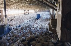 Poultry prisons: Concentrated in houses with upwards of 20,000 to 30,000 other birds, each full-grown chicken gets less than a square foot of living space. #factory farming #food #cruelty this is where your food comes from. Look familiar? Reminds me of the holocaust..