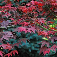 Love watching the foliage on Oshio-Beni Japanese Maple turn bright red in the fall! Monrovia Nursery, Border Garden, Monrovia Plants, Plant Catalogs, Acer Palmatum, Zone 5, Home Landscaping, Japanese Maple, Outdoor Stuff