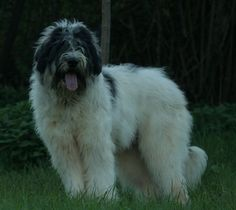 Mioritic Shepherd Dog Unusual Dog Breeds, Awesome Dogs, Shepherd Dog, Wolves, Bobby, Best Dogs, Zara, Creatures, Cute