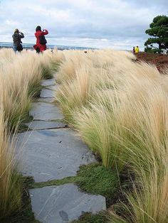 Gardening Love Stone path through feather grass. WOULD LOOK GREAT IN CAT GARDEN! Seaside Garden, Coastal Gardens, Beach Gardens, Outdoor Gardens, Cottage Gardens, Mexican Feather Grass, Feather Reed Grass, Plantas Indoor, Ornamental Grasses