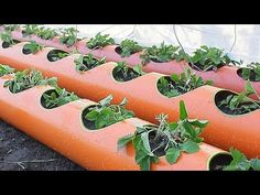 Strawberries in a tube strawberry bed from a tube planting strawberries in PVC pipes 200 mm