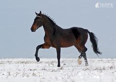 His breed is the most famous horse to come out of Russia and combines elegant action and endurance with good speed. Half of all Orlovs are grays, but blacks, bays,and the rare chestnut are seen. Arabian Stallions, Two Horses, Beautiful Horses, Pretty Horses, Large Photos, Horse Pictures, Equine Photography, Most Beautiful Pictures, Animals