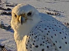 World's Largest Falcon Gets up Close & Personal With Webcam