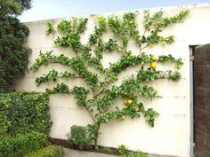 Fruit Garden, Edible Garden, Citrus Garden, Herbs Garden, Garden Deco, Back Gardens, Outdoor Gardens, Landscape Design, Garden Design