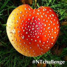 It's that time again good luck everyone  For this weeks @nationaltrust #NTChallenge were joining with our partners in the Climate Coalition to #showthelovefor the environment. Climate change is threatening our natural environment and proving a major conservation challenge for the places you help us care for. Our rangers volunteers and visitors have found their hearts in nature (like this nibbled fly agaric fungi (Amanita muscaria) spotted at May Hill by Ranger Laura Riley) and wed love to…