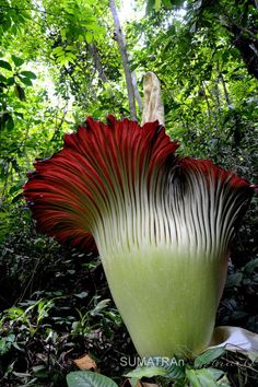 See 2 photos and 1 tip from 13 visitors to Palembayan. Exotic Flowers, Amazing Flowers, Tropical Plants, Tropical Gardens, Amorphophallus Titanum, Titan Arum, Corpse Flower, Jungle Gardens, Special Flowers