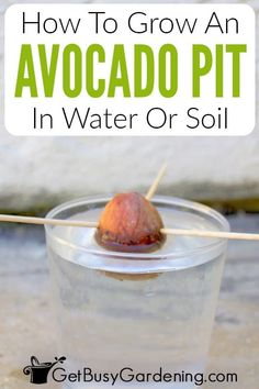 Indoor avocado trees make great houseplants and you can grow one yourself very easily from a simple grocery store pit. Watch as your avocado seed begins to root in water, and get all the tips you need to make sure it keeps growing. Learn why and when to change the water, the best soil for your new avocado pit plant, how long it takes to grow from seed, and how to care for your new plant once it's been repotted. This is a fun and easy way for new gardeners to try their hand at propagation.
