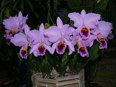 Cattleya percivaliana 'Augusto'