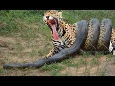 Giant Anaconda attacks Tiger