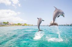 After humans, dolphins have the largest brains in the animal kingdom, relative to body size. Through the games they play with one another and the means by which they socialize, researchers are able to measure their amazing cognitive abilities. Dolphin Facts, Soviet Navy, Dolphin Family, Travel Specials, Bottlenose Dolphin, Killer Whales, Sea Creatures, Animal Kingdom, Dolphins