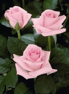 Rare Light Pink Rose Seeds Flower Bush Perennial Shrub Garden Home Exotic Home Yard Grown Party Wedd Exotic Flowers, Amazing Flowers, Beautiful Roses, Pink Flowers, Red Roses, Beautiful Flowers, Pretty Roses, Rosen Arrangements, Flower Arrangements