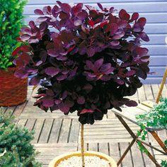 Cotinus coggygria Royal Purple on Stem