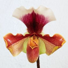 Paphiopedilum by tor_h, via Flickr