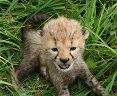 Tiny cheetah.