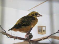 Statistieken T. arthus / Projectvogel 2015-2020 / Projectvogel / ITP Project / ITP Project   Tanagerbreeders.nl