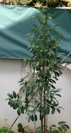 Black sapote plant - growing in your own plant - http://www.growplants.org/growing/black-sapote