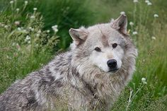 https://flic.kr/p/5b7LTh | Grey-Wolf-Portrait | A Yellowstone Grey Wolf sits for a portrait among a field of wildflowers.